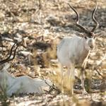 Big Bucks in Wildlife: 10 endangered species thriving at a for-profit exotic game ranch in the Hill Country (slideshow)