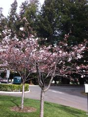 Nature is renewing itself, too, with plum trees blooming all over campus.