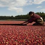 10 facts about the Massachusetts cranberry industry