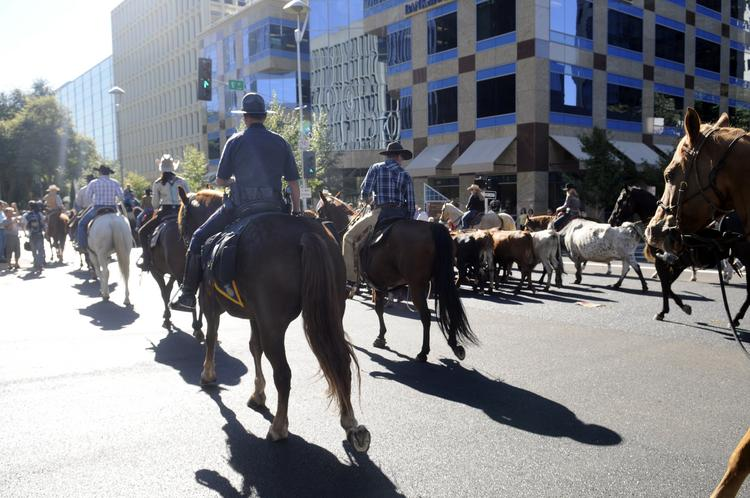 Sacramento's Farm-to-Fork week kicked off Monday morning with a cattle drive across the Tower Bridge. More than 50 longhorns were driven across the bridge by Cotton Rosser's Flying U Rodeos of Yuba County.
