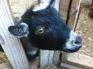 A petition seeks to allow goats to be kept in yards in Albany.