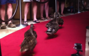 And so the Peabody Ducks walked away and retired. So long, our feathery friends.