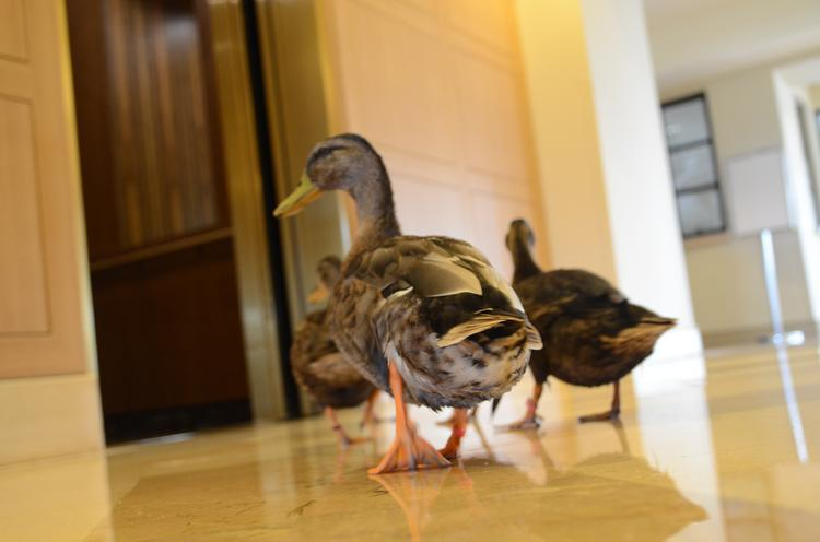 The $717 million sale of the 1,641-room Peabody Orlando and its Oct. 1 transition into the Hyatt Regency Orlando will be a huge game-changer for Central Florida's hotel market. Shown: The Peabody ducks