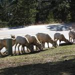 Why Triangle craft beer won't be brewed with sheep feces