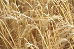 Arcadia Biosciences lands $2M grant to research reduced-gluten grains