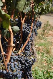 Vines on the Crocker & Starr estate, filled with grapes nearly ready for harvest.