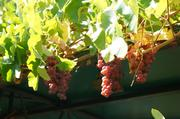 More vines on the estate with grapes that were nearly ready for harvest.