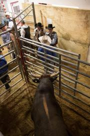 Santiago, a 6-year-old, more than 1,600-pound bull, checks out his competition as the riders await their introductions.