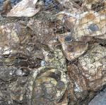 5 million oysters to be planted in the Patapsco River by 2020