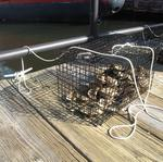 165,000 baby oysters are coming to the Inner Harbor in cleanup effort