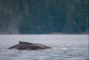 Many whales rely on krill as one of their main food sources. Which is daunting because krill are expected to be among the most impacted by multiple climate stressors, according to a study led by an OSU researcher.