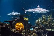 Of course there were underwater pumpkins at the National Aquarium.