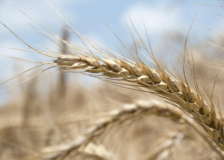 Mississippi producers are expected to plant more than 400,000 acres of wheat this fall.