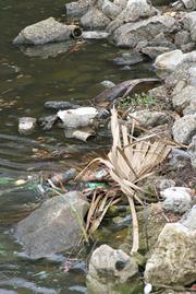 Hogans Creek is polluted with dangerous chemicals, here near where it flows into the St. Johns River it is covered with bright green algae and littered with trash