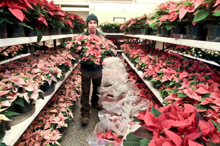 Justin Badot tends to some of the 1,400 poinsettias since put on display at the Franklin Park Conservatory.