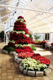 Poinsettias form a Christmas tree at the conservatory.