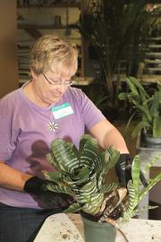 Donna Vogelpoke, a volunteer from the Columbus African Violet Society, helps in the plant clean up.