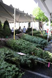 Christmas trees are seen at Richard Tajiri's Christmas Hawaii lot in Honolulu's Moiliili neighborhood. Tajiri moved his business to the new site this year because of construction at Ala Moana Center.