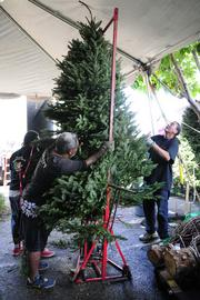 Workers prepare to shake a large Christmas tree purchased by a customer.