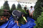 Workers at Richard Tajiri's Christmas Hawaii wrap up a large Christmas tree for delivery to the Waikiki Resort Hotel.