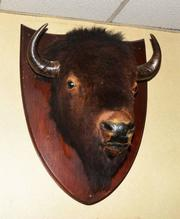 One of several mounted bison heads to be auctioned on Saturday.
