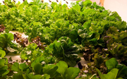 A close-up view of lush salad greens grown vertically in the Volcano Veggies aquaponic system.