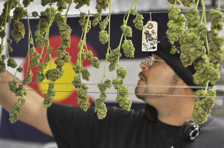 "Benjamin ""Chico"" Suarez hangs up trimmed plants to dry in the cure room at the Medicine Man growing facility in Denver."