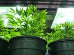 Florida's MJ Holdings ready to roll with local Colorado pot companies