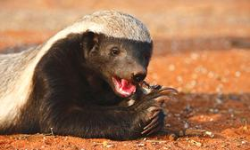 <em>Wired</em> explores the similarities between Bitcoin and the honey badger.