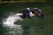 An American bald eagle catches a fish in the waters near Ketchikan, Alaska. I was on a kayak trip through native fishing grounds and was shooting a huge eagles nest when this happened about 20 feet away from me. Took my breath away, watching the parents fish.