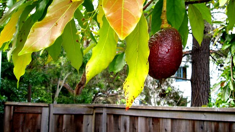 Avocado trees in Southern California are among those threatened by a spreading fungus.