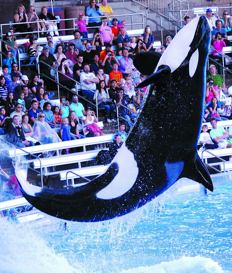 Spectators watch as a killer whale leaps out of the pool during SeaWorld's One Ocean show.
