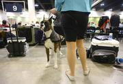 A boxer waits for its breed special competition.