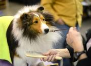 Shetland Sheep Dog Linkin gets a brushing after winning best of all males in his breed.