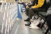 This Sheltie therapy dog did not compete. Her owner brought her down to watch the breed's competition.