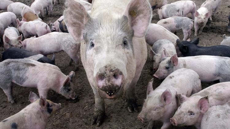A Chinese virus has killed as many as 6 million U.S. piglets.