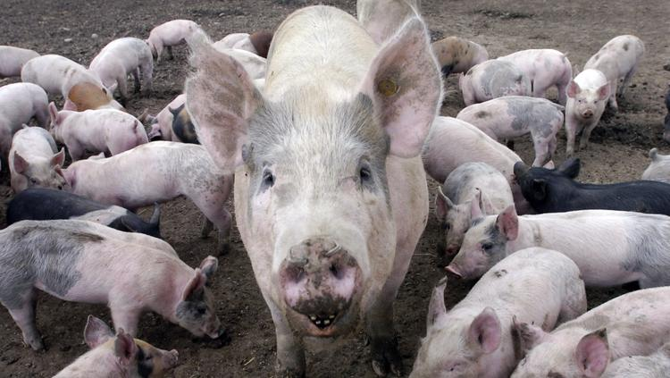 Salisbury-based Delhaize America, parent of grocery chain Food Lion, says it wants its pork suppliers to eliminate a controversial type of animal crate used to house pregnant pigs.