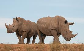 Not-evil drones battle poachers to protect rhinoceroses