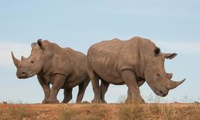 White Rhinos are on the endangered species list.
