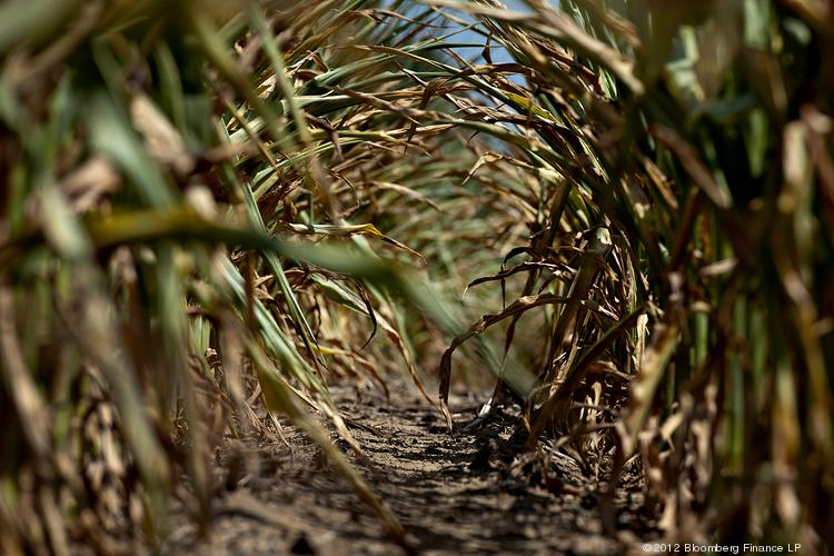The sun shines on the dried leaves of corn plants suffering from a lack of moisture. Photographer: Daniel Acker/Bloomberg
