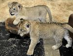 Arctic chill refreshing for Maryland Zoo's polar bears, but not for lion cubs
