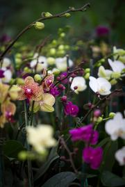"""A variety of Phalaenopsis orchids, otherwise known as the """"Moth Orchid,"""" on display at the Orchid Gallery in Pittsboro on Jan. 23."""