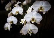 """This orchid is a variation of the Phalaenopsis Blume or """"Moth Orchid,"""" which is on display at the Orchid Gallery in Pittsboro on Jan. 23."""