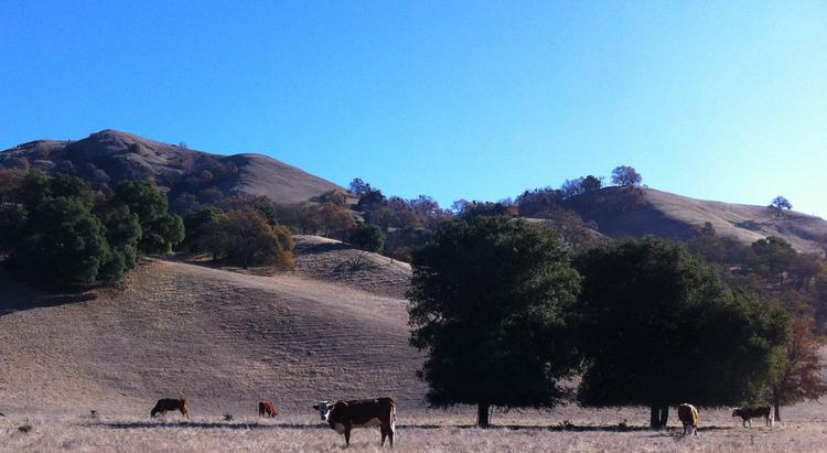 Not a cloud in the sky. Cattle grazing in Sunol south of Pleasanton on dry, brown winter hills that should by now be showing some green.