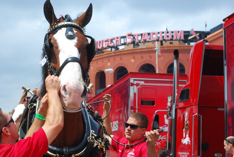 Officials prepare the Budweiser Clydesdales for the Opening Day parade inside Busch Stadium.