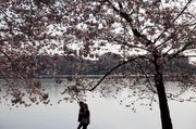 Visitors walk below cherry trees in blossom next to the Tidal Basin. The first cherry trees were ceremonially planted by First Lady Helen Taft and Japanese Viscountess Iwa Chinda on March 27, 1912.