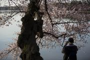 The National Cherry Blossom Festival kicks off the spring tourism season in D.C. Cherry trees in blossom next to the Tidal Basin are popular with photographers.