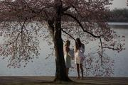Cherry blossom princesses stand under blossoming cherry trees next to the Tidal Basin.