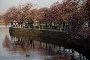 Visitors walk along the cherry trees.
