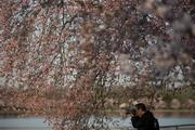 Cherry trees in blossom next to the Tidal Basin get their picture taken.